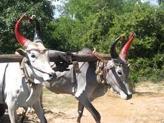 Bulls cart