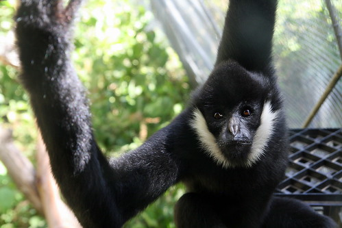 white cheeked spider monkey | Flickr - Photo Sharing!