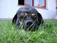 The king of the garden (abriSax) Tags: dog dogs cane corso rayban baloo cani canecorso