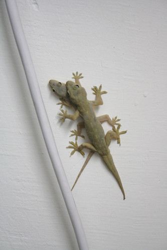Sex Life of the Geckos