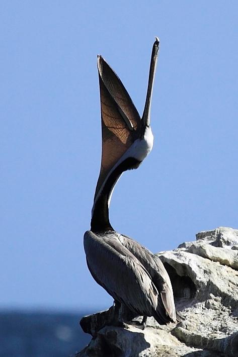 042810_pelican