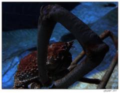 Grosse Patte (Greyshift11) Tags: life sea mer france lumix dragon nemo clown panasonic bleu g1 mm 45mm dory dmc geant poissons 1445 200mm crabe 14mm murene crabzilla hippocampe chirurgien hippocampes dmcg1
