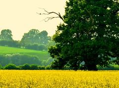 #DailyShoot 2014 ~Rape Seed field #Herefordshire (Leshaines123) Tags: tree green bird field yellow countryside rape crop herefordshire hereford dailyshoot