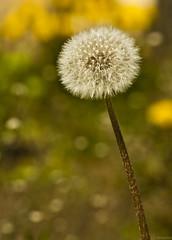 dandelion (emershot) Tags: flower macro nature closeup canon bokeh dandelion 70210 kenko dmuchawiec 50d mniszeklekarski emershot