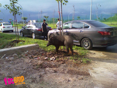 Wild boar spotted at Punggol Riverside gets 'friendly' with passers-by