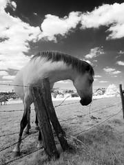 cavallo2011_IR_6039222_1 (stegdino) Tags: horse animal fence ir infrared cavallo animale rockon twothumbsup gamewinner epinal thumbwrestler challengeyouwinner friendlychallenges diamondsawards thechallengefactory yourockwinner yourockunanimous herowinner thepinnaclehof storybookwinner gamex2sweepwinner storybookttwwinner pinterest gamex3sweepwinner ispywinner ispycaughtintheactwinner ispymedalofhonourwinner favescontestsweep favescontesttopseed favescontestsweepvssweep1st tphofweek106 stegomisc