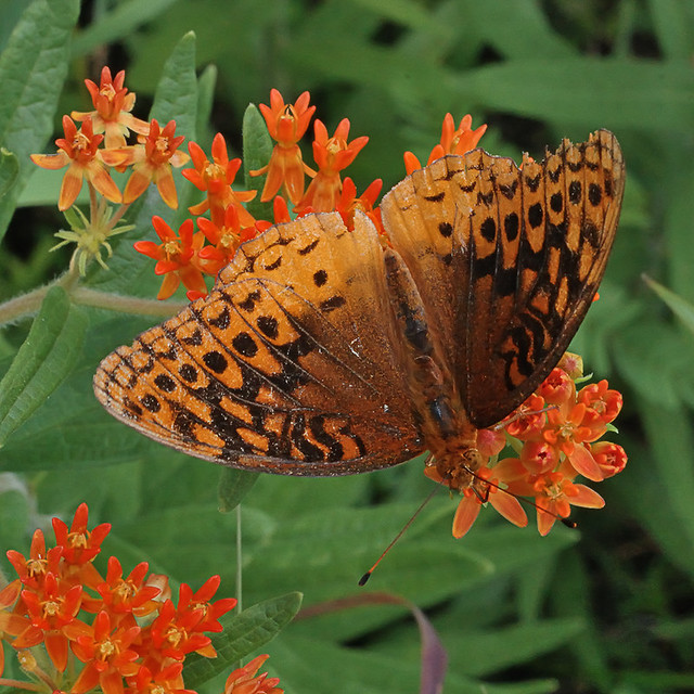 Cuivre River State Park, near Troy, Missouri, USA - orange flowers with butterfly