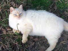 Kakashi (MyCatRanch) Tags: cat kakashi feral flamepoint