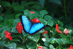 Blue Inside (t_majic.1006) Tags: blue red flower leaves butterfly droplets nikon cotcmostinteresting amazingcolor traceymaciejewski gallery1006