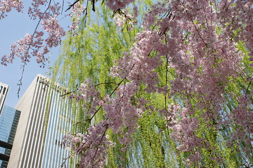sakura willow