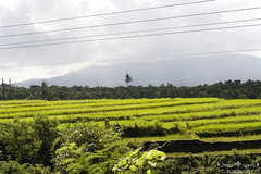 Rice fields near Ocampo