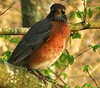 American Eastern Robin - Male