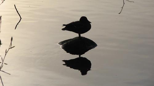 Resting Duck in Lafarge Lake