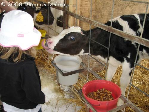 Cow Kiss