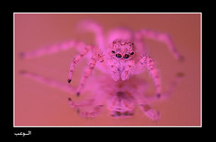 Spider and pink dress (Abdullah Alashiri) Tags: pink spider womanhood  mywinners abigfave anawesomeshot aplusphoto diamondclassphotographer  theworldinpink