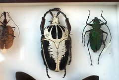 Collection entomologique (Pierre J.) Tags: france beetle insects science 45 lepidoptera collection goliath insectes entomologie entomology coleoptera loiret goliathbeetle lpidoptres coloptres donnery goliathusregius collectionentomologique