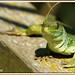 Lagarto ocelado 02 - Llangardaix ocel·lat - Eyed Ocellated Lizard - Lacerta lepida