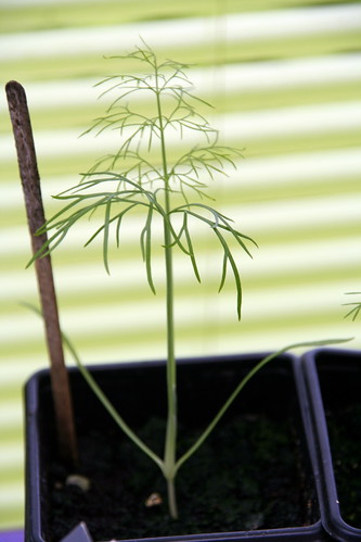 Colossal Fennel