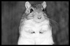 Gerbilface (the.madcat) Tags: gerbil rodent agouti