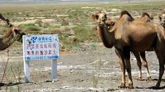 Camels east of Qingshui on National Highway G312 in Gansu Province, China