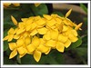 Ixora chinensis 'Singapore Yellow' (Jungle Flame/Geranium, Flame of the Woods, Needle Flower)