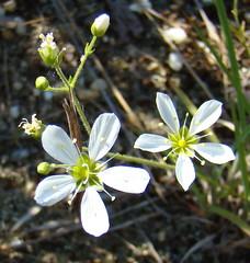 Pine-barren Sandwort