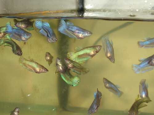 Female bettas sorority sisters fight too fish care for Fighting fish tank