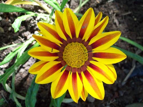Gazania- Blanket flower