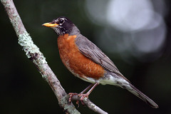 Robin (MCV Photo & Video) Tags: bird nature robin canon newjersey wildlife nj birdfeeder depthoffield jersey morris closeups birdwatching birdwatcher naturelovers morriscounty minehill beautifulbirdbokeh 40d mywinners betterthangood goldstaraward birdsinsideandout wildlifecloseup jerseybird tameron200500