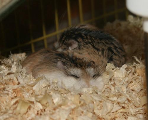 Sleepy by roborovski hamsters.