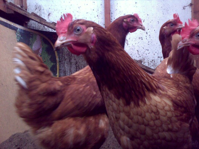 Mum's New Chickens