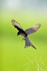 Black Drongo (Max Loxton) Tags: pakistan green birds canon20d fields greenery pajaro punjab lahore oiseau brb blackdrongo yasirnisar 14xconverter maxloxton alemdagqualityonlyclub 40028lis vosplusbellesphotos