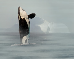 Majestic Killer Whale (Dean of Photography) Tags: rock mammal bravo place grandmother you 1st whale orca thumbsup soe killerwhale naturesfinest bigmomma supershot oceanshore specanimal platinumphoto theunforgettablepictures photofaceoffwinner photofaceoffplatinum goldwildlife pfogold discoveryphotos 100commentgroup motmfeb09 herowinner favescontestfavoriteson favescontesttopseed favescontestfavored favescontestoverthetop