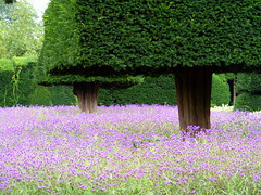 Violet Covering (floato) Tags: uk trees england house west color colour tree green colors beautiful beauty grass gardens garden landscape see countryside hall photo interesting colorful pretty day colours foto fotograf photographer view purple shot northwest photos britain district or north group picture violet favorites professional photograph fotos enjoy cumbria attractive favourites colourful welcome exquisite fabulous favourite picturesque groups expert verbena eyecatching favourited covering levens fotograph fotographer a so floato pleaseaskifyouwanttouseaphotoiusuallysayyes