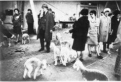 Crufts Dog Show 1968 (National Media Museum) Tags: show dogs dogshow terriers crufts bedlingtonterrier tonyrayjones bedlingtons nationalmediamuseum