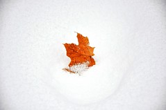 fallen in snow (christiaan_25) Tags: winter orange white snow leaves found leaf maple woods explore mapleleaf 199 mortonarboretum flickrmembers carbonfootprint mywinners abigfave platinumphoto betterthangood allaboutleaves natureandnothingelse nikond90club 36912608