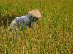 Field worker (♪♫marion♫♪) Tags: voyage trip travel viaje bali field indonesia asia rice harvest worker récolte rizière lpwork2