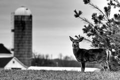 Not the sharpest tool in the shed (nosha) Tags: bw fall nature beautiful beauty dark landscape newjersey nikon december farm wildlife apocalypse nj bms deer f56 pm 2008 kerr mercercounty faun kerrs lightroom d300 200mm nosha cornstand darkfuture bristolmyerssquibb december2008 nikond300 kerrsfarm apocalypsedecadence darkcoast kornstand