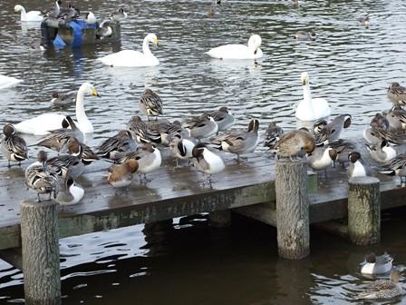 大池の白鳥と鴨類