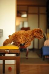 Toy Poodle Chocolat (Yasuhiko Ito) Tags: red dog cute toy poodle kawaii  toypoodle  takamori         chocorat