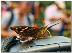 incontro ravvicinato (Andrea Rapisarda) Tags: brazil nature argentina closeup butterfly photography photo bokeh natura mariposa farfalla iguau iguaufalls theunforgettablepictures rapis60 andrearapisarda olimpuse510