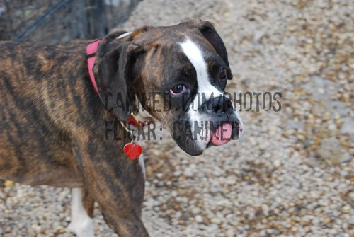 Brown and white boxer dog