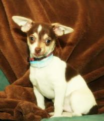 Awe! (Shutterbee by Liz) Tags: dog chihuahua puppy sweet smalldog littledog cutepuppy cuteanimal brownandwhitedog dogwithblueeyes