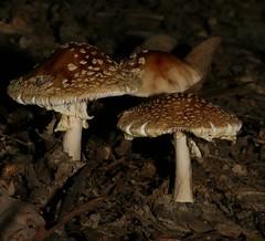brown.aminita.type.LPP.080807.1879 (SethPhotos) Tags: mushrooms statenisland bolete aminita longpondpark