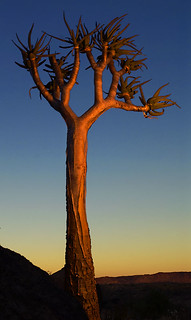 Kokerboom in Augrabies Falls National Park