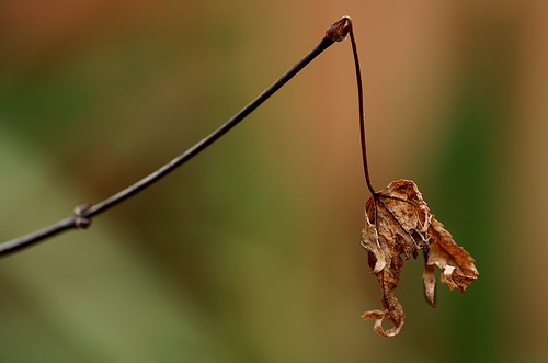 Shrivelled Acer Leaf