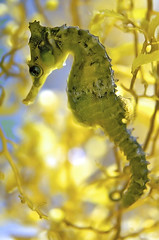 Seahorse (melissa.fiene) Tags: ocean life new sea nature beautiful yellow wales aquarium design weeds marine seahorse underwater natural south sydney tiny nsw colourful gentle d300 weedy