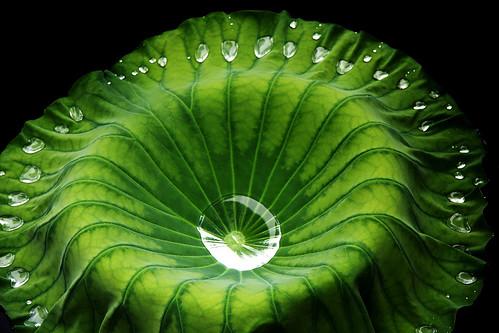 +Lanzi님이 촬영한 Lotus Leaf.