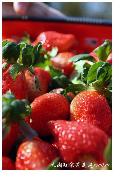 090117_12_採草莓