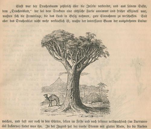Drachenbaum6